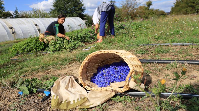 La cueillette des fleurs de bleuet. © M'Essonne