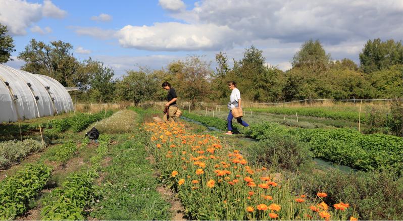 Aline cultive 1500m2 en agriculture biologique. La cueillette des fleurs de bleuet. © M'Essonne
